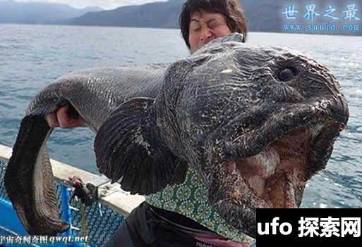 日本核电站附近捕获恐怖大鱼,狼鱼(图)