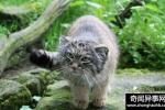 农夫捡了4只萌萌哒的小猫咪回家,却被它长大后的模样吓到了