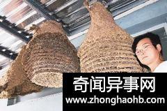 台湾台东一男子34年里摘下500余虎头蜂窝(图)