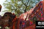 印度两头牛结婚 花费一万八