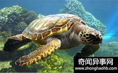 乌龟寿命到底是多少年 还觉得乌龟个个都长命百(奇闻)